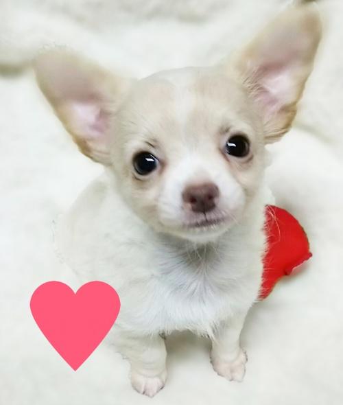チワワ(ロング)の子犬(ID:1240511021)の1枚目の写真/更新日:2017-10-19