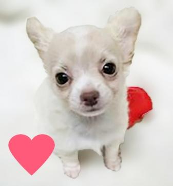 チワワ(ロング)の子犬(ID:1240511021)の2枚目の写真/更新日:2017-10-19