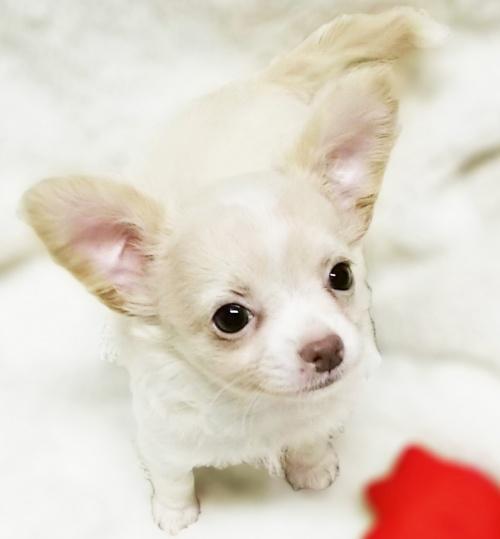 チワワ(ロング)の子犬(ID:1240511021)の3枚目の写真/更新日:2017-10-19