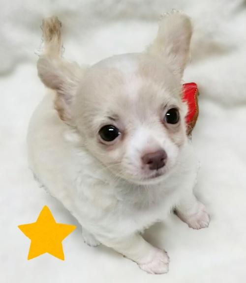 チワワ(ロング)の子犬(ID:1240511021)の4枚目の写真/更新日:2017-10-19