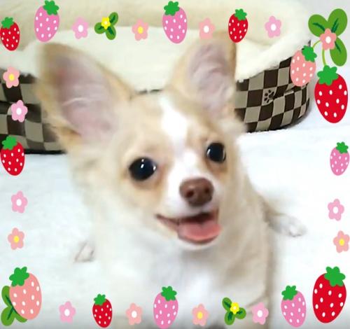 チワワ(ロング)の子犬(ID:1240511022)の1枚目の写真/更新日:2017-12-20