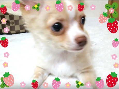 チワワ(ロング)の子犬(ID:1240511022)の3枚目の写真/更新日:2017-10-19