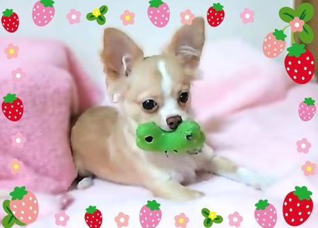 チワワ(ロング)の子犬(ID:1240511022)の4枚目の写真/更新日:2017-10-19