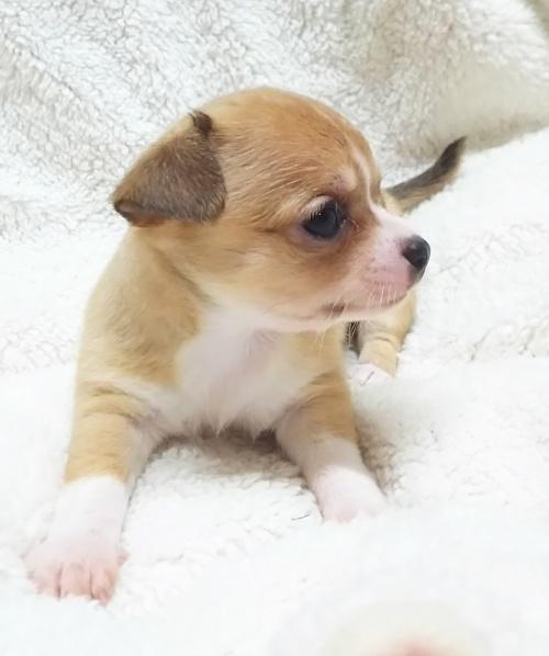 チワワ(スムース)の子犬(ID:1240511023)の4枚目の写真/更新日:2017-09-28