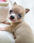 チワワ(スムース)の子犬(ID:1240511024)の1枚目の写真/更新日:2017-09-28