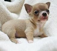 チワワ(スムース)の子犬(ID:1240511024)の4枚目の写真/更新日:2017-09-28