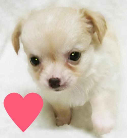 チワワ(ロング)の子犬(ID:1240511025)の1枚目の写真/更新日:2017-10-19