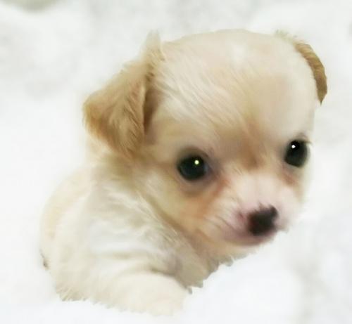チワワ(ロング)の子犬(ID:1240511025)の2枚目の写真/更新日:2017-10-19