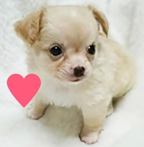 チワワ(ロング)の子犬(ID:1240511025)の3枚目の写真/更新日:2017-10-19