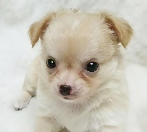 チワワ(ロング)の子犬(ID:1240511025)の4枚目の写真/更新日:2017-10-19