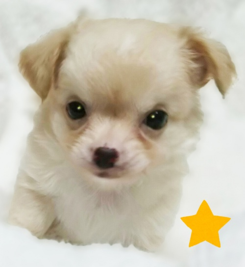 チワワ(ロング)の子犬(ID:1240511025)の5枚目の写真/更新日:2017-10-19