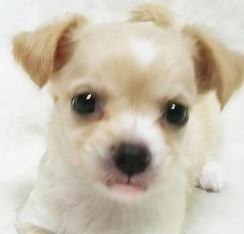 チワワ(ロング)の子犬(ID:1240511026)の1枚目の写真/更新日:2017-10-19