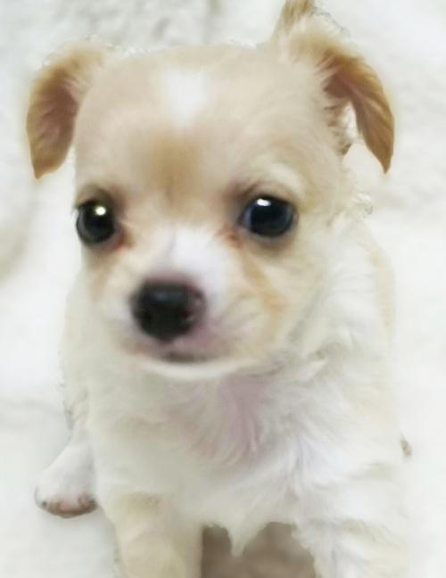 チワワ(ロング)の子犬(ID:1240511026)の2枚目の写真/更新日:2017-10-19