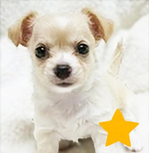 チワワ(ロング)の子犬(ID:1240511026)の3枚目の写真/更新日:2017-10-19
