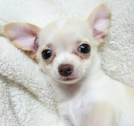 チワワ(スムース)の子犬(ID:1240511027)の1枚目の写真/更新日:2017-10-29