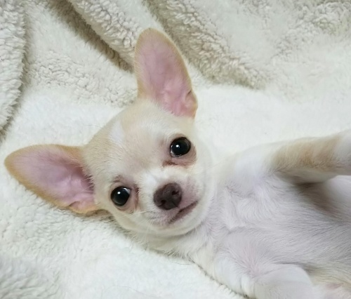 チワワ(スムース)の子犬(ID:1240511027)の3枚目の写真/更新日:2017-10-29