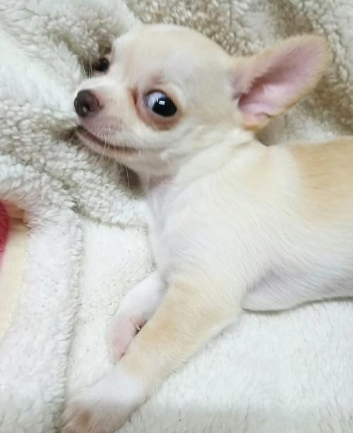 チワワ(スムース)の子犬(ID:1240511027)の5枚目の写真/更新日:2017-10-29
