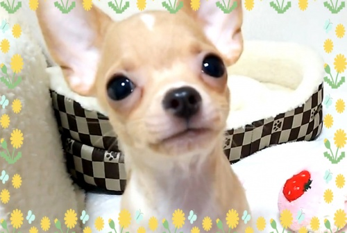 チワワ(スムース)の子犬(ID:1240511028)の1枚目の写真/更新日:2017-10-29