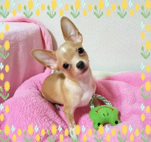 チワワ(スムース)の子犬(ID:1240511028)の2枚目の写真/更新日:2018-04-27