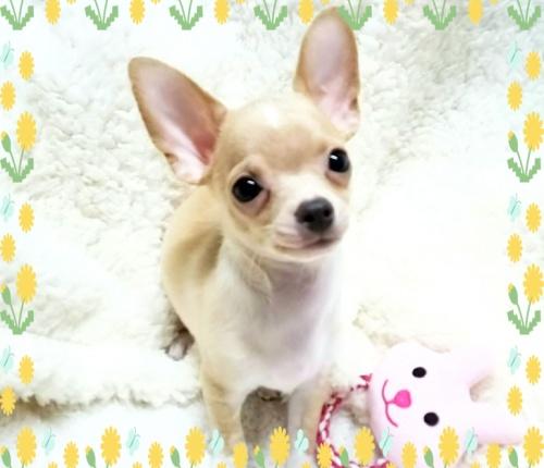 チワワ(スムース)の子犬(ID:1240511028)の3枚目の写真/更新日:2018-04-27