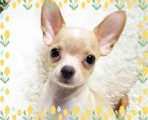 チワワ(スムース)の子犬(ID:1240511028)の4枚目の写真/更新日:2018-04-27