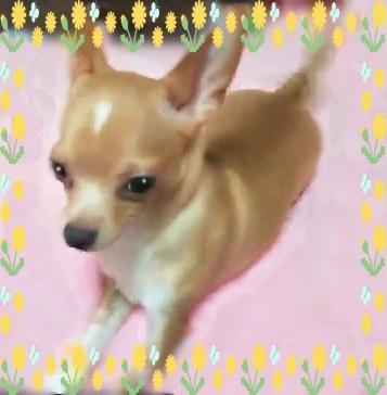 チワワ(スムース)の子犬(ID:1240511028)の5枚目の写真/更新日:2018-04-27
