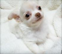 チワワ(ロング)の子犬(ID:1240511029)の1枚目の写真/更新日:2017-10-29