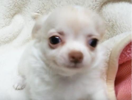 チワワ(ロング)の子犬(ID:1240511029)の3枚目の写真/更新日:2017-10-29