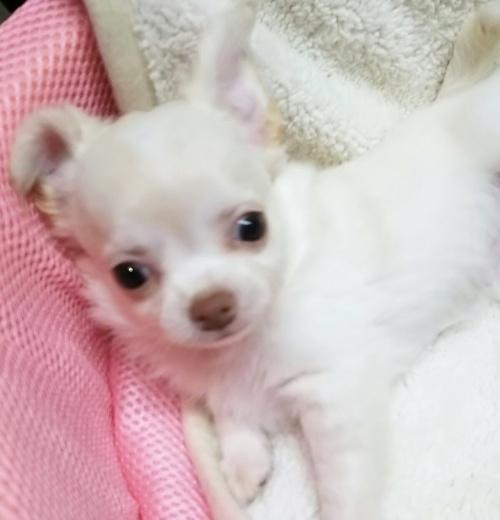 チワワ(ロング)の子犬(ID:1240511029)の4枚目の写真/更新日:2017-10-29