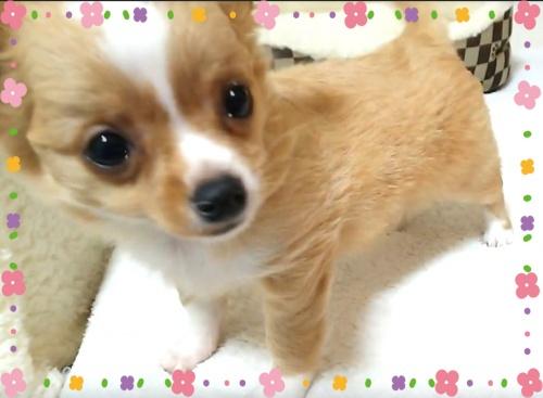 チワワ(ロング)の子犬(ID:1240511030)の1枚目の写真/更新日:2017-11-06