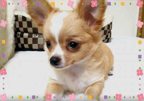 チワワ(ロング)の子犬(ID:1240511030)の2枚目の写真/更新日:2017-11-06