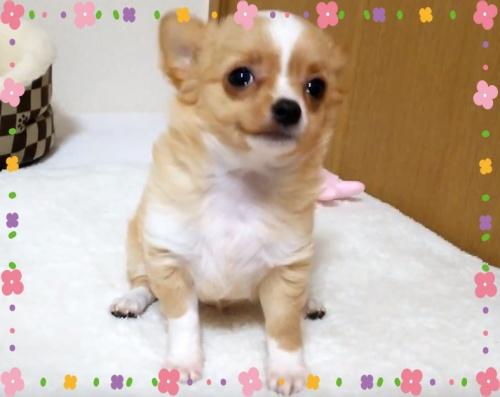 チワワ(ロング)の子犬(ID:1240511030)の3枚目の写真/更新日:2017-12-20