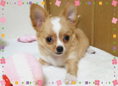 チワワ(ロング)の子犬(ID:1240511030)の4枚目の写真/更新日:2017-12-20