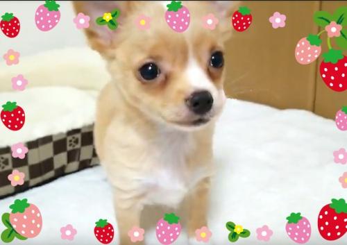 チワワ(ロング)の子犬(ID:1240511031)の1枚目の写真/更新日:2017-12-22