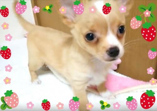 チワワ(ロング)の子犬(ID:1240511031)の2枚目の写真/更新日:2017-11-15