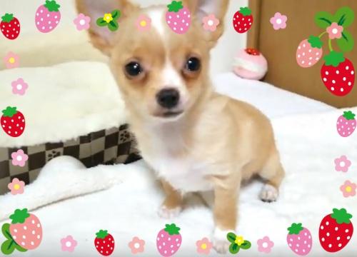 チワワ(ロング)の子犬(ID:1240511031)の3枚目の写真/更新日:2017-11-15