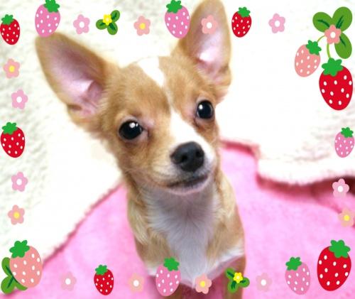 チワワ(ロング)の子犬(ID:1240511031)の4枚目の写真/更新日:2017-12-22