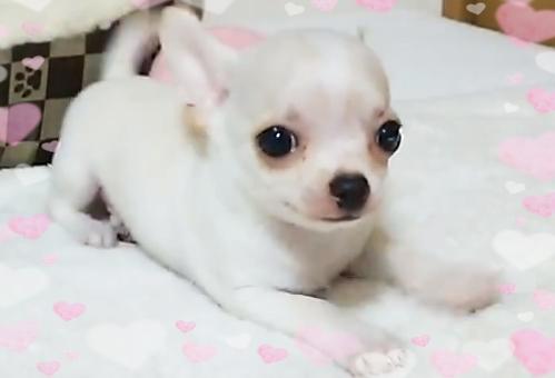 チワワ(スムース)の子犬(ID:1240511032)の1枚目の写真/更新日:2018-03-02