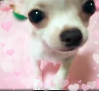 チワワ(スムース)の子犬(ID:1240511032)の2枚目の写真/更新日:2017-12-20