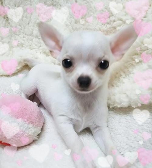 チワワ(スムース)の子犬(ID:1240511032)の3枚目の写真/更新日:2018-03-02