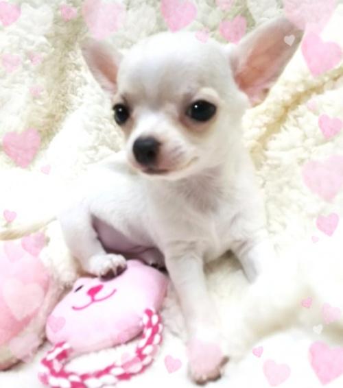 チワワ(スムース)の子犬(ID:1240511032)の4枚目の写真/更新日:2018-03-02