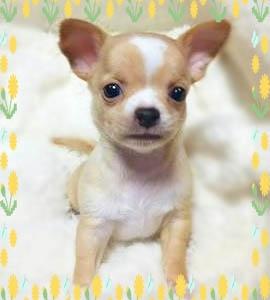 チワワ(スムース)の子犬(ID:1240511033)の1枚目の写真/更新日:2018-04-28