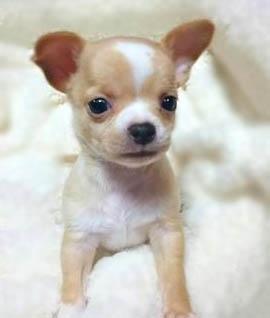 チワワ(スムース)の子犬(ID:1240511033)の2枚目の写真/更新日:2018-04-28