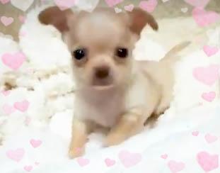 チワワ(スムース)の子犬(ID:1240511034)の1枚目の写真/更新日:2018-04-28