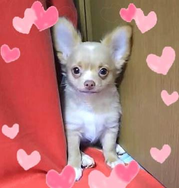 チワワ(ロング)の子犬(ID:1240511035)の1枚目の写真/更新日:2018-04-28