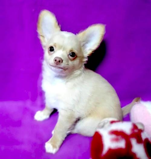 チワワ(ロング)の子犬(ID:1240511035)の2枚目の写真/更新日:2018-04-28
