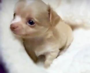 チワワ(ロング)の子犬(ID:1240511035)の3枚目の写真/更新日:2018-04-28