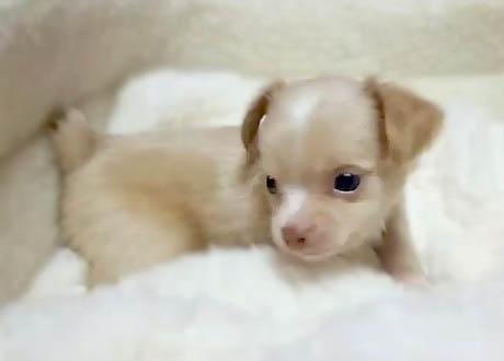 チワワ(ロング)の子犬(ID:1240511035)の4枚目の写真/更新日:2018-06-05