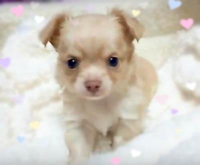 チワワ(ロング)の子犬(ID:1240511036)の1枚目の写真/更新日:2018-04-28