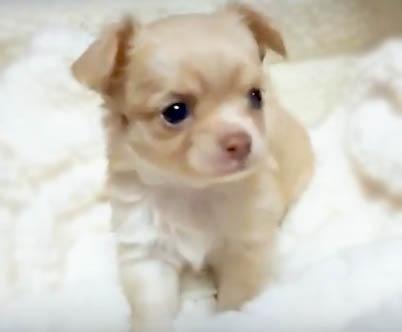 チワワ(ロング)の子犬(ID:1240511036)の3枚目の写真/更新日:2018-04-28